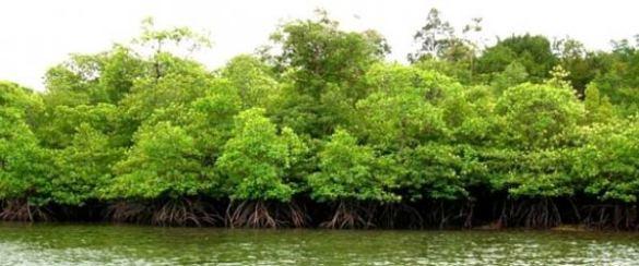 hutan-mangrove